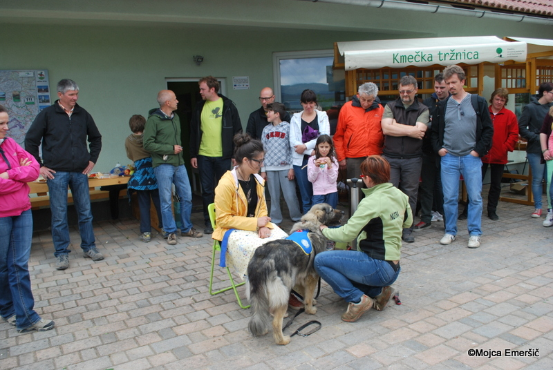 Prikaz kraševca v funkciji terapevtskega psa.  Lavo, ki je terapevtska psička vodi Urša Udovič.
