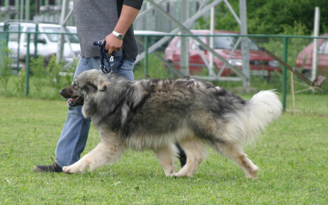 10. državna CAC specialna razstava za kraške ovčarje /10th Specialty CAC dog show for Karst Shepherds